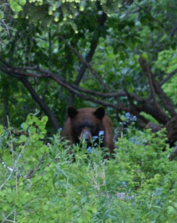 black bear hunting bear at bait site