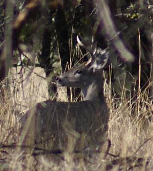 Coues deer buck