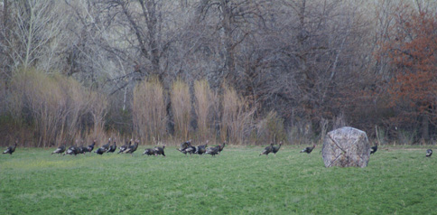 turkeys all around ground blind